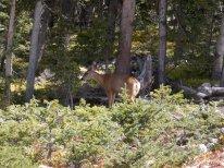 Some mule deer.